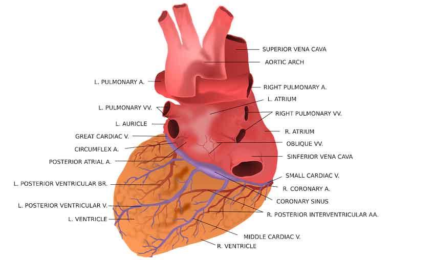 CareAcross-Image of a heart